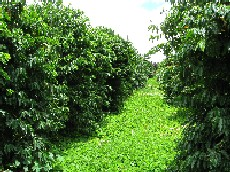 Kauai Coffe Company & cover crop