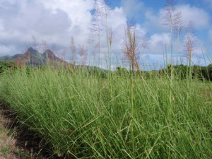 Mature vetiver hedges in Waimanalo reach a height of 6-8 feet. The plants produce a purple-colored inflorescence with non-fertile seeds