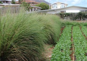 Vetiver edges used on a Hawaii Kai farm
